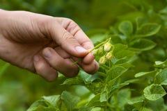 有土豆被拣掉的花的手  免版税库存图片