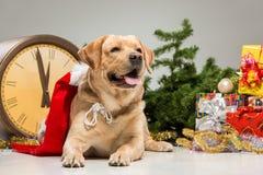 有圣诞老人帽子的拉布拉多 新年的诗歌选和 免版税库存图片