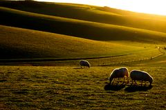 有在前景吃草在领域的三只绵羊的苏克塞斯绵延山 免版税图库摄影