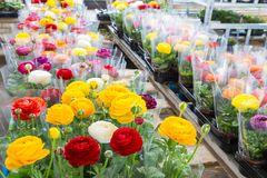有在塑料箔包裹的五颜六色的花毛茛的温室 图库摄影