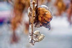 有在清楚的冰盖的叶子的布什枝杈在冻雨以后 库存照片