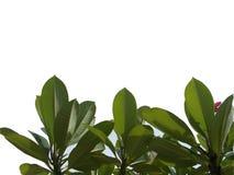 有在白色背景隔绝的分支的顶视图树热带叶子,背景的绿色叶子 库存例证