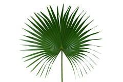 有在白色背景隔绝的圆叶子或扇形棕榈叶状体热带叶子自然绿色样式的棕榈,裁减路线 库存图片