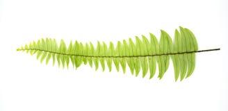 有在白色背景隔绝的水滴的特写镜头绿色蕨叶子 免版税库存图片