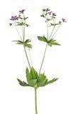 有在白色隔绝的淡紫色花的野生植物 免版税库存照片