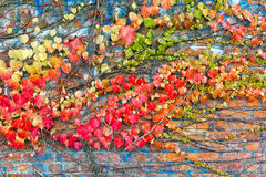 有在秋天附有的常春藤叶子的年迈的石墙 免版税库存图片