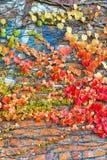 有在秋天附有的常春藤叶子的年迈的石墙 免版税图库摄影