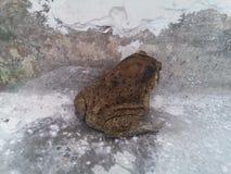 有在老住宅走廊的一只蟾蜍 图库摄影