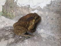 有在老住宅走廊的一只蟾蜍 库存照片