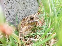 有在草的一只蟾蜍 库存图片