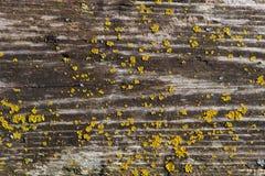 有地衣补丁的老木板  免版税库存照片