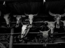 有垫铁的母牛和水牛头骨在泰国 免版税库存图片