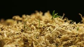 有增长的植物的春天Timelapse 股票视频