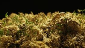 有增长的植物的春天Timelapse 股票录像