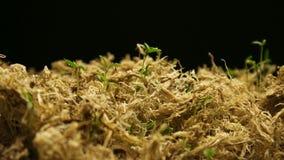有增长的植物的春天Timelapse 影视素材