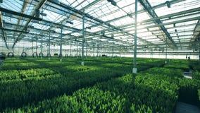 有增长的郁金香的大温室,鸟瞰图 股票视频
