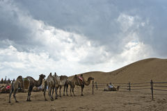 有多云天空的骆驼和沙漠 库存图片