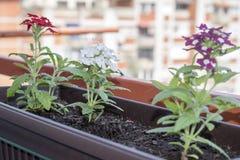 有多彩多姿的喇叭花的花圃,五颜六色的喇叭花喇叭花hybrida开花 免版税库存照片