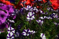 有多彩多姿的紫色和紫罗兰色喇叭花的花圃 美丽的五颜六色的喇叭花喇叭花hybrida花宏观射击  免版税库存图片