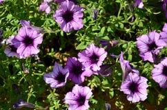 有多彩多姿的紫色和紫罗兰色喇叭花的花圃 美丽的五颜六色的喇叭花喇叭花hybrida花宏观射击  库存图片