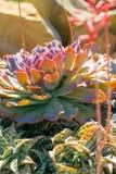 有多汁植物的沙漠庭院 库存照片
