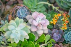 有多汁植物的沙漠庭院 图库摄影