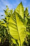 有大叶子和桃红色花的绿色烟草植物。 库存照片