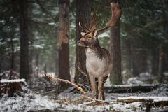 有大垫铁的伟大的成人高尚的雷德迪尔在积雪的杉木和神色中站立在您 与De的欧洲野生生物风景 库存图片