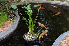 有大橙色koi鱼的Koi池塘 库存图片
