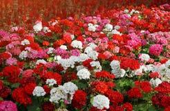 有大竺葵五颜六色的花的花圃在太阳的发出光线 免版税库存照片