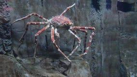 有大红蜘蛛螃蟹的水族馆 股票录像