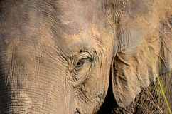 有大耳朵的大象头和眼睛详述照片 图库摄影