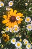 有大草原的Fleabane黑眼睛的苏珊 免版税库存照片