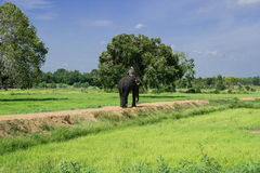 有大象的一个人 库存照片