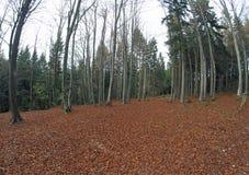 有大量的森林干叶子和露出高树 免版税库存照片
