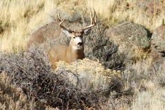 有大鹿角的鹿大型装配架 库存照片