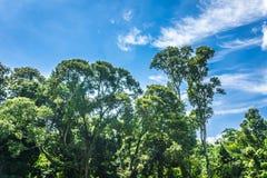 有大绿色树的一点森林和美丽的天空当在茂物拍的背景照片印度尼西亚 免版税库存照片