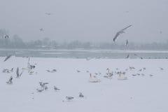 有天鹅和海鸥吃的冻多瑙河 免版税库存图片