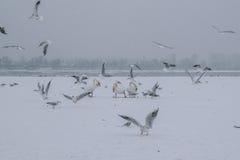有天鹅和海鸥吃的冻多瑙河 库存图片