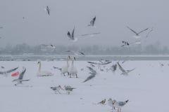 有天鹅和海鸥吃的冻多瑙河 免版税图库摄影
