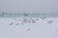 有天鹅和海鸥吃的冻多瑙河 图库摄影
