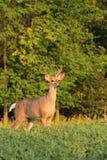有天鹅绒鹿角的白尾鹿大型装配架 库存照片