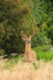 有天鹅绒鹿角的白尾鹿大型装配架 图库摄影