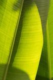 有太阳光的热带香蕉叶子 免版税库存照片