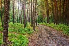 有太阳光芒、蓝色莓果灌木和森林轨道的杉木森林 免版税库存图片