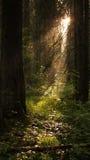 有太阳光芒的02针叶树森林 免版税库存图片