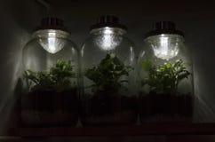 有太阳灯的三个fittonia玻璃容器在上面 库存照片