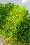 有太阳的光芒的新鲜的绿叶 免版税库存图片