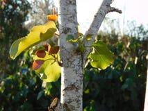 有太阳的光芒的树叶子 免版税库存图片