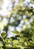 有太阳的绿色叶子 库存照片